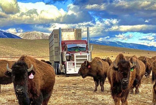 Как живет и работает перевозчик бизонов 19