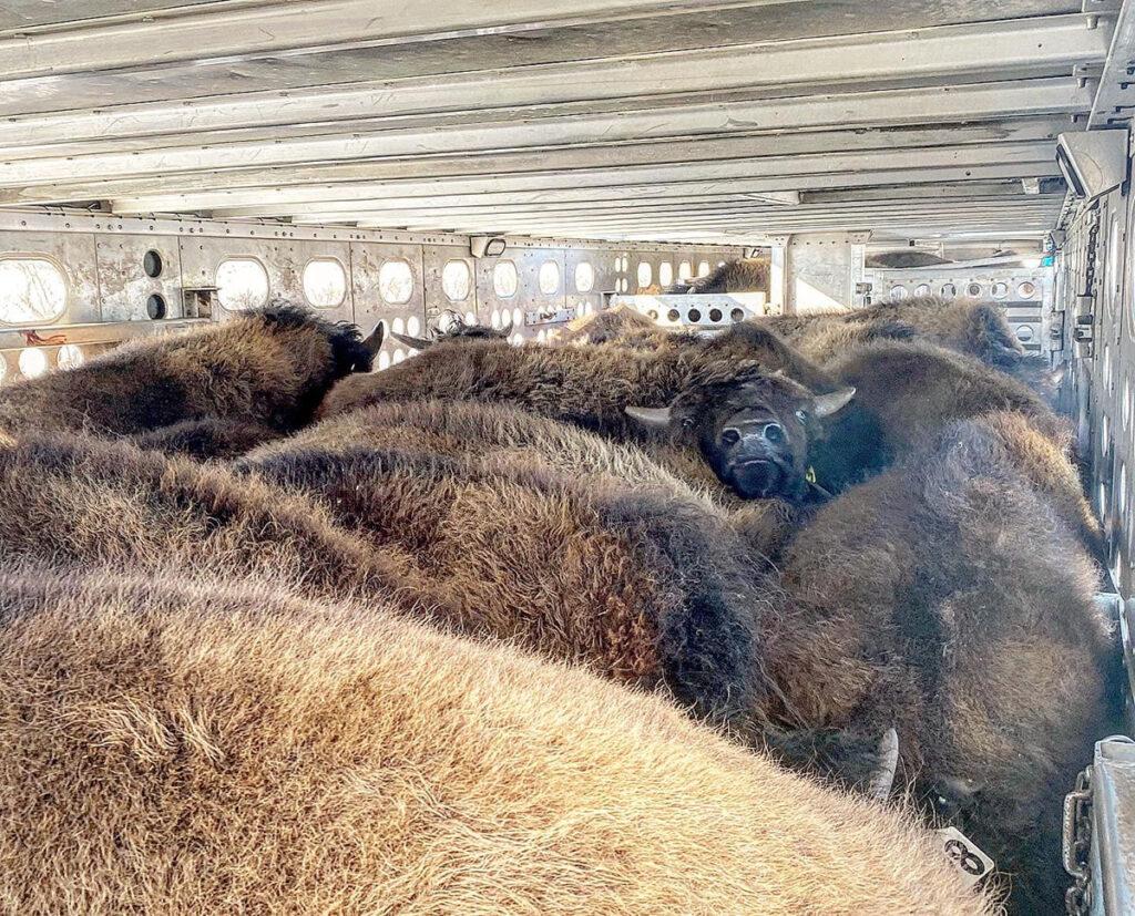 Как живет и работает перевозчик бизонов 12